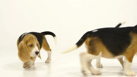 cimborák : Puppy beagle on a white background, many little puppies, dry food for dogs. Slow motion