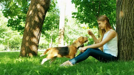 diótörő : beagle puppy dog eating from hand in womans arms. Girl playing with her beagle dog in summer park. beautiful girl near a tree, kissing the dogs nose Stock mozgókép
