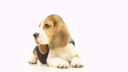 nézett le : pretty Puppy Beagle in front of white background. He stuck out his tongue, close up