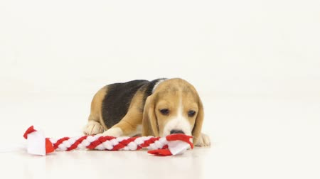 hunting dog : Beagle dogs sniffing in red stick. pretty Puppy Beagle in front of white background. He stuck out his tongue, close up Stock Footage