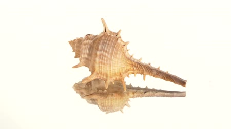 tengeri élet : Prickly light brown sea shell on white background, rotation, reflection
