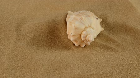 duro : Top of usual marine and ocean seashell on sand, rotation, close up