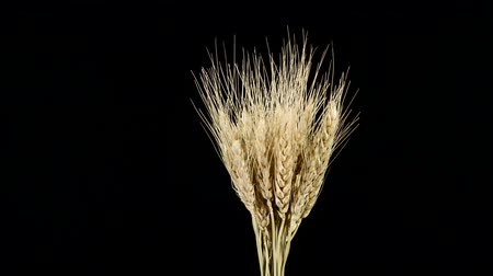black yellow : Ripe ears of dry wheat on black, rotation