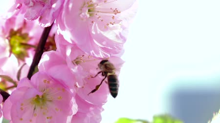 easily : Bee collects nectar. Close up. Slow motion