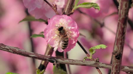 легко : Honey bee pollinating an apple flower in early spring. Close up. Slow motion