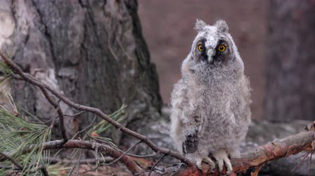 looking far away : Owl sits on a branch of a pine tree she looks into the distance looking for food Stock Footage