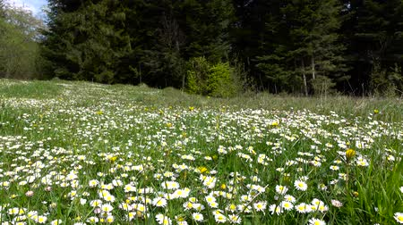 kayran : Summer landscape, valley with camomile flowers surrounded by green forest