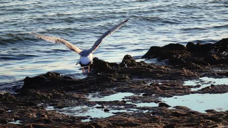 searches : Sea gulls stand on the beach and brush their feathers with their beaks. Slow motion Stock Footage
