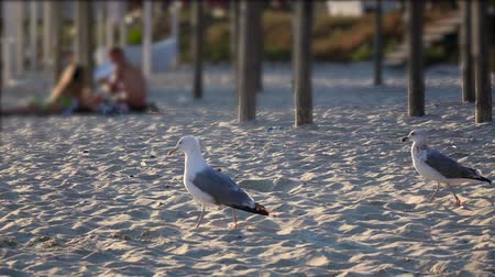searches : Hungry gull on the beach looking for food finds and eats. Slow motion