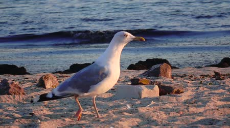 searches : Gull walks the sand and looks for food on the seashore. Slow motion Stock Footage
