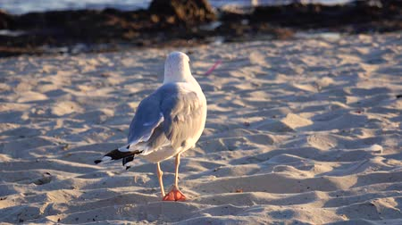 searches : Gull walks the sand and looks for food on the seashore
