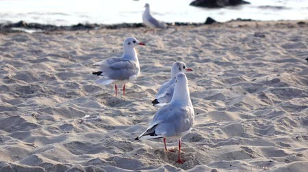 searches : Many gulls fight for food, walk on the sand and take off