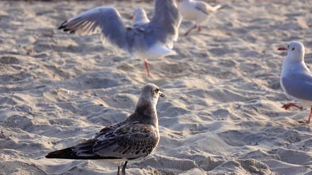 searches : Hungry gull on the beach looking for food finds and eats