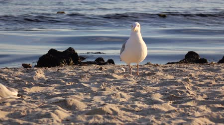 searches : Sea gull walks along the sandy shore, a fresh breeze blows Stock Footage