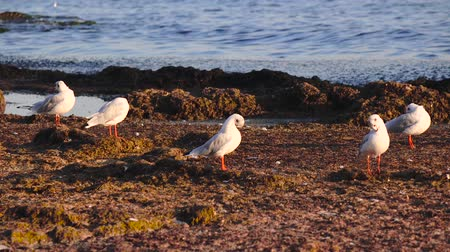 searches : Many seagulls stand on the beach and brush their feathers with their beaks