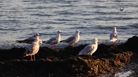 searches : Sea gulls stand on the beach and brush their feathers with their beaks