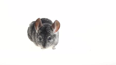 cheirando : Gray chinchilla looks around carefully and sniffs something. White background