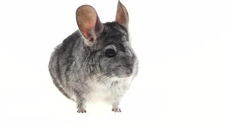 gnawer : Gray chinchillas listened warily and ran away on white background Stock Footage