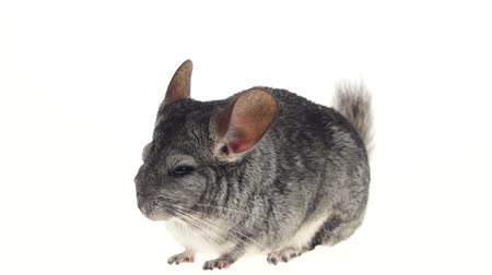 gnawer : Gray chinchilla, home favorite, tiredly closes eyes on white background