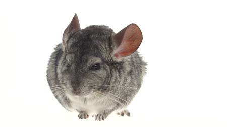 gnawer : Gray chinchilla chewing black sunflower seed on white background. Closeup Stock Footage