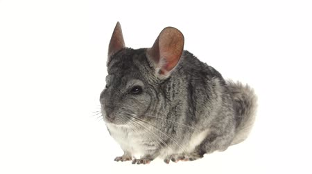 gnawer : Gray chinchilla chews tasty pet food on white background. Closeup Stock Footage