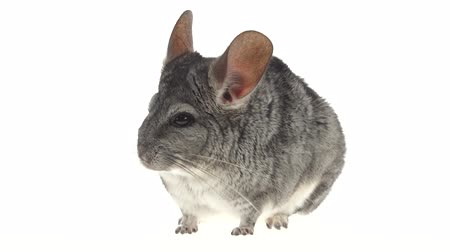 gnawer : Gray chinchilla eats up food and runs away from frame Stock Footage