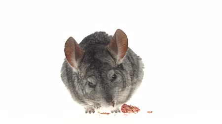 gnawer : Chinchilla eats special food for rodents from seeds. White background Stock Footage