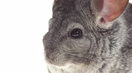 gnawer : Closeup of gray chinchillas eat food for rodents. White background