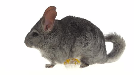 gnawer : Chinchilla eat treat for rodents from seeds and runs away