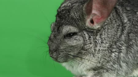gnawer : Closeup of muzzle of gray chinchilla on green screen background