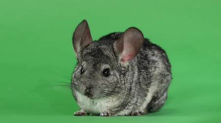 gnawer : Gray chinchilla washed and licked muzzle to camera. Green screen