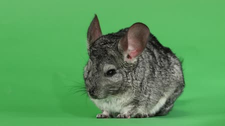 gnawer : Gray chinchilla, human hand stroking soft wool. Green screen background