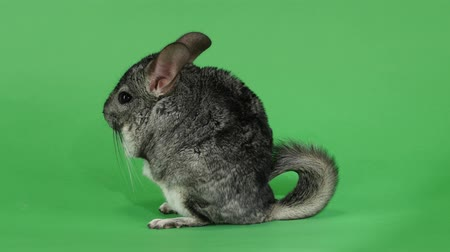 gnawer : Chinchilla sits on hind legs sideways to viewer. Green screen