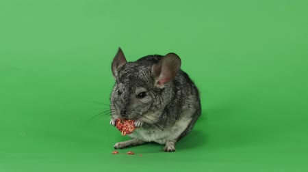 gnawer : Chinchilla eats special food for rodents from seeds. Green screen