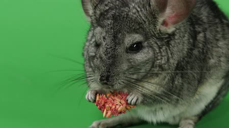 gnawer : Chinchilla eats food for rodents from seeds. Green screen, closeup