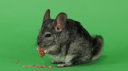 gnawer : Chinchilla eats food for rodents from red seeds. Green screen Stock Footage