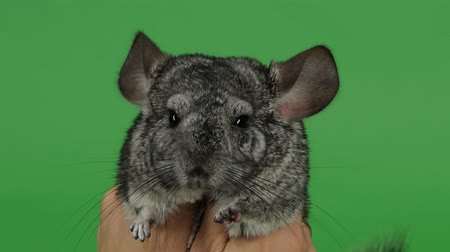 gnawer : Lovely gray little chinchilla hug with both hands. Green screen