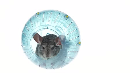 gnawer : Gray chinchilla sitting in blue ball for walks. White background