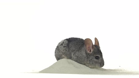 gnawer : Gray chinchilla is bathed in special sand for cleansing fur
