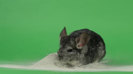 gnawer : Chinchilla is bathed in sand for cleansing fur. Green background