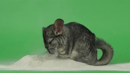gnawer : Bathing chinchilla in special sand for these animals. Green background Stock Footage