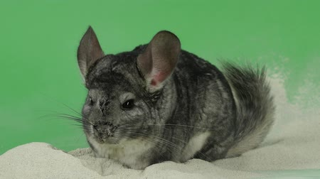 gnawer : Bathing chinchilla in sand for these animals. Green background, closeup Stock Footage
