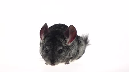 gnawer : Chinchilla looks around and sniffs something. White background, slow motion