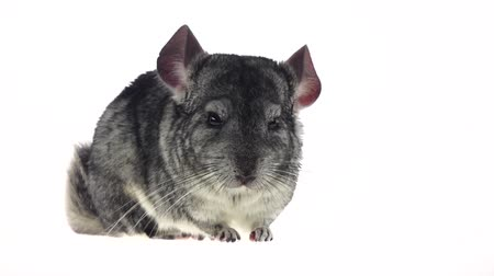 gnawer : Chinchilla chewing black sunflower seed on white background. Slow motion