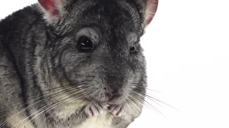gnawer : Chinchilla chewing sunflower seed on white background. Slow motion, closeup Stock Footage