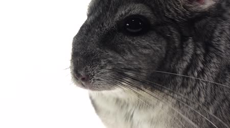 gnawer : Chinchilla chewing food for animals, white background. Slow motion, details