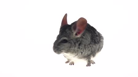 gnawer : Gray chinchilla listened warily and ran away in slow motion Stock Footage