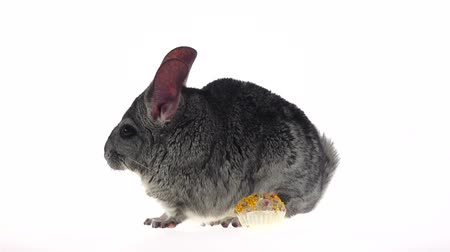 gnawer : Chinchilla eat for rodents seeds and runs away. Slow motion