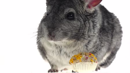 gnawer : Closeup of chinchilla eat seeds and runs away. Slow motion