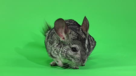 gnawer : Cute chinchilla posing on camera on green background. Slow motion